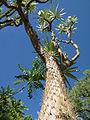 Spiny Forest near Berenty (2269783308).jpg