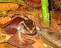 Spot-legged poison frog (Ameerega picta) (1).JPG