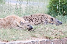 pair of spotted hyenas at white river mpumalanga note the great degree of individual variation in fur colour which was once used as a basis for