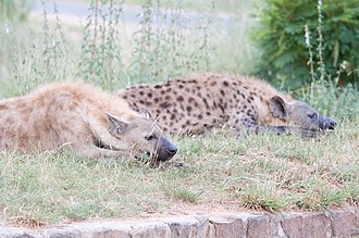 Spotted hyena - Pair of spotted hyenas at White River, Mpumalanga. Note the great degree of individual variation in fur colour, which was once used as a basis for separating the species into various subspecies.