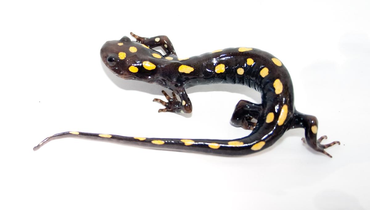salamander white background - photo #19