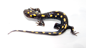 Spotted Salamander 2 cutted.png