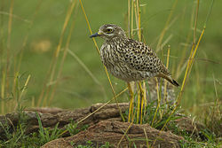 Spotted Thick-knee - Kenya S4E0748 (15376078247).jpg
