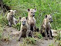 Spotted hyena cubs in Limpopo.jpg