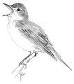 Spotvogel Hippolais icterina Jos Zwarts 3.tif