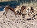 Springboks (Antidorcas marsupialis) males ... (50998964216).jpg