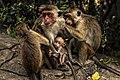 Sri lankan Monkey family.jpg