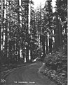 Stand of timber and dirt road, Snohomish County, ca 1925 (PICKETT 385).jpg