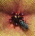 Stapelia gigantea - fly pollination (5587930978).jpg