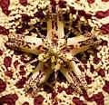 Stapelia lepida Flower (3) - Section.jpg