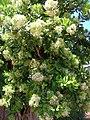Starr-050516-1366-Pimenta dioica-flowering habit-Maunaloa-Molokai (24762755145).jpg