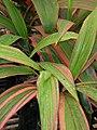 Starr-060922-9197-Cordyline fruticosa-leaves-DLNR baseyard Kahului-Maui (24237669834).jpg