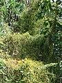 Starr-070321-5938-Cassytha filiformis-habit-Waianapanapa State Park Hana-Maui (24258534603).jpg