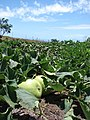 Starr-090519-8074-Lagenaria siceraria-fruiting habit-Native Nursery Kula-Maui (24860670121).jpg