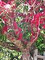 Starr-090609-0362-Syzygium malaccense-flowers on trunk-Haiku-Maui (24869917271).jpg