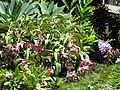 Starr-090721-3224-Medinilla magnifica-flowering habit-Wailuku Heights-Maui (24343571953).jpg