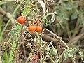 Starr-090814-4326-Solanum lycopersicum-fruit-Industrial area Mokulele Hwy-Maui (24972265725).jpg