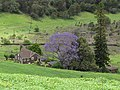 Starr-100504-5929-Jacaranda mimosifolia-flowering habit and house-Ulupalakua-Maui (24669901689).jpg