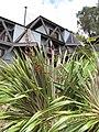 Starr-100616-7084-Phormium tenax-flowering habit-Waipoli Rd Kula-Maui (24409889624).jpg