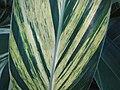 Starr-110209-0741-Alpinia zerumbet-variegated leaf-Resort Management Group Nursery Kihei-Maui (25074513995).jpg