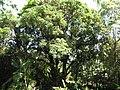Starr-110330-4077-Mangifera indica-habit-Garden of Eden Keanae-Maui (24963044012).jpg