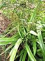 Starr-110411-4940-Dianella sandwicensis-fruiting habit form sandwicensis-Hawea Pl Olinda-Maui (25056161406).jpg