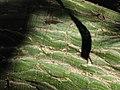 Starr-120522-6007-Pseudobombax ellipticum-trunk and bark-Iao Tropical Gardens of Maui-Maui (24515132783).jpg