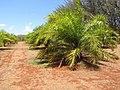 Starr-120702-7940-Elaeis guineensis-habit-USDA Plant Materials Center-Molokai (25186328835).jpg