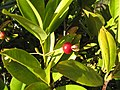 Starr-130304-2013-Eugenia brasiliensis-fruit and leaves-Montrose Crater Rd Kula-Maui (25206186385).jpg