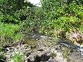 Starr-140909-4901-Hibiscus tiliaceus-habit view stream-Wailua-Maui (25246060315).jpg