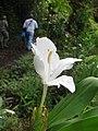 Starr-141027-5144-Hedychium coronarium-flower-Nahiku-Maui (25129902182).jpg