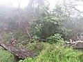 Starr-180312-2559-Bocconia frutescens-large habit with Forest-Kahikinui-Maui (27367559718).jpg
