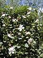 Starr 010822-0053 Hibiscus waimeae.jpg