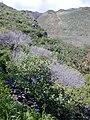 Starr 020112-0027 Achyranthes splendens var. splendens.jpg