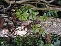 Starr 020518-0013 Cinchona pubescens.jpg