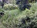 Starr 020913-0032 Piper auritum.jpg