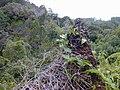 Starr 030405-0243 Smilax melastomifolia.jpg