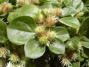 Alternanthera - khakiweed (Alternanthera caracasana)