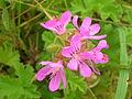 Starr 051122-5379 Pelargonium capitatum.jpg