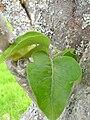 Starr 060429-8014 Nothocestrum latifolium.jpg