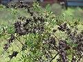 Starr 061201-1766 Indigofera suffruticosa.jpg