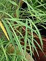 Starr 070906-8552 Otatea acuminata subsp. aztecorum.jpg