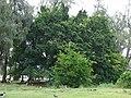Starr 080608-7487 Ficus microcarpa.jpg