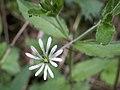 Stellaria nemorum 1.jpg