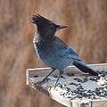 Steller's Jay (15054744299).jpg