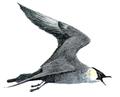 Stercorarius pomarinusDUCB1.png