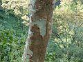 Sterculia urens (8094467470).jpg