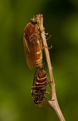 Coenomyia ferruginea, Paarung