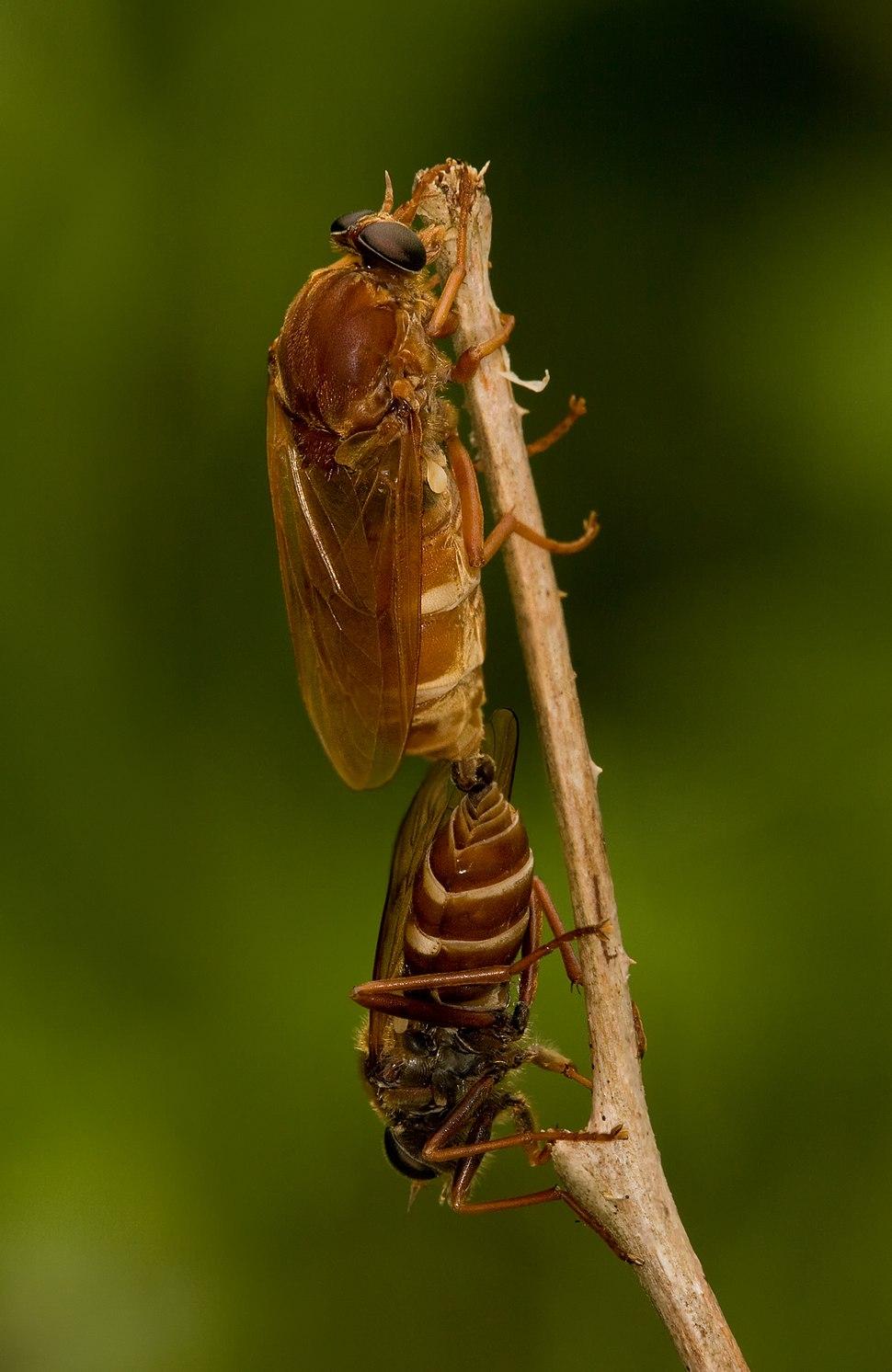 Stinkfliege Coenomyia ferruginea