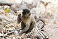 Stone tool use by a capuchin monkey.jpg